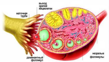 Желтое тело на УЗИ: что это означает?