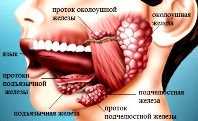 УЗИ слюнных желез: норма, проведение