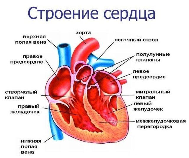 Рентген сердца: проведение, рентгеноанатомия, описание