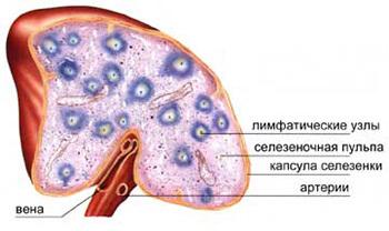 Норма и патология селезенки на УЗИ
